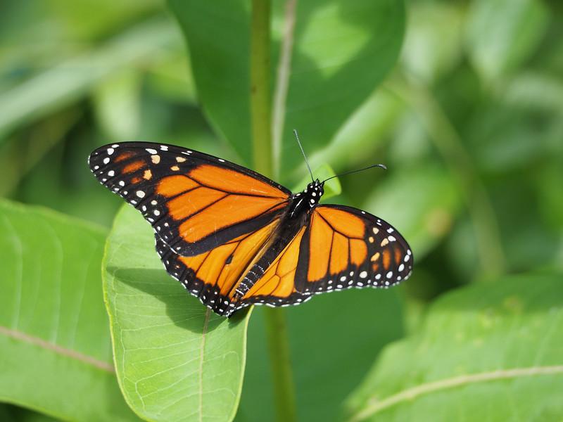Monarch, male