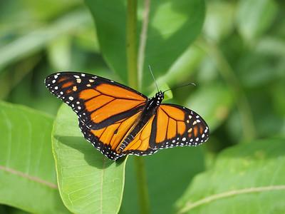 Monarchs - Danainae