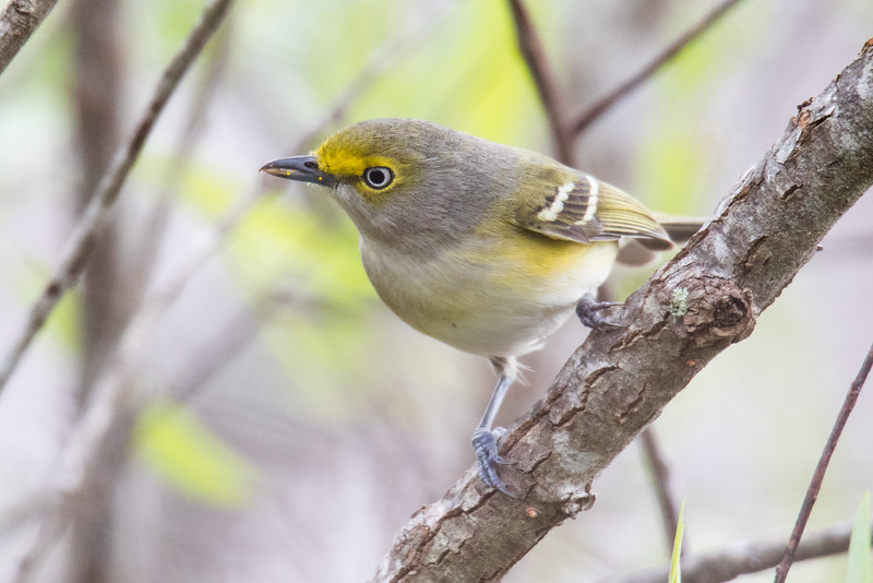 White-eyed Vireo Everglades 2020-2.jpg