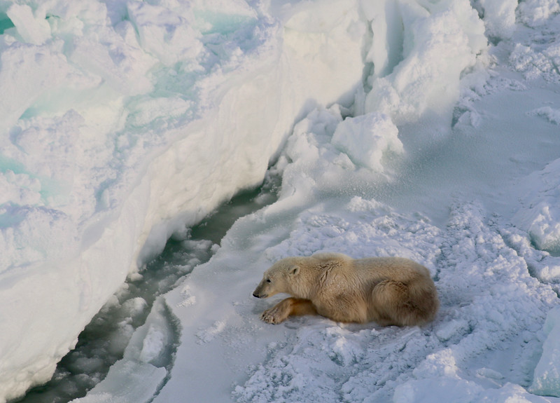Polar Bear on Hudson Bay hunting seals, patiently waiting for one to surface to breathe.