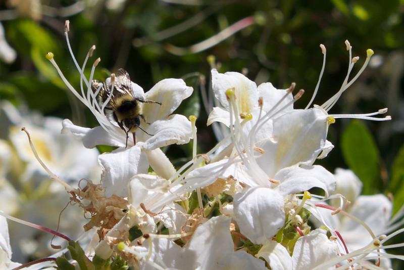 YOS-120617-0002 Bee in Western Azalea