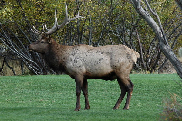 Estes Park, CO. - Elk