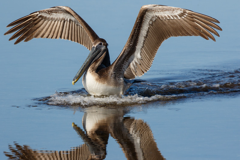 Brown Pelican-7811.jpg
