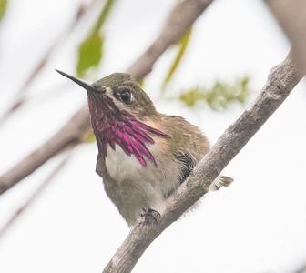 Calliope Hummingbird TRV 5-2-18