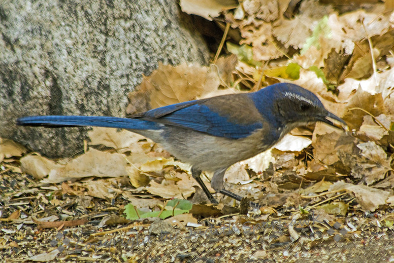 Scrub Jay ~ This jay was photograped at Big Morongo Canyon Preserve in Morongo Valley, CA.