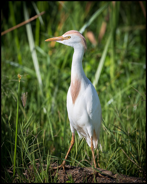 Cattle egret, Lake Manyara NP