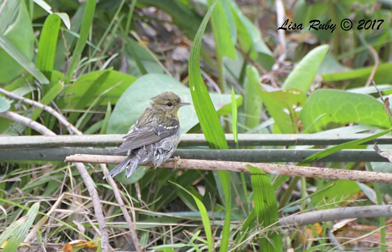Blackpoll Warbler - 10/10/201 - Famosa Slough south