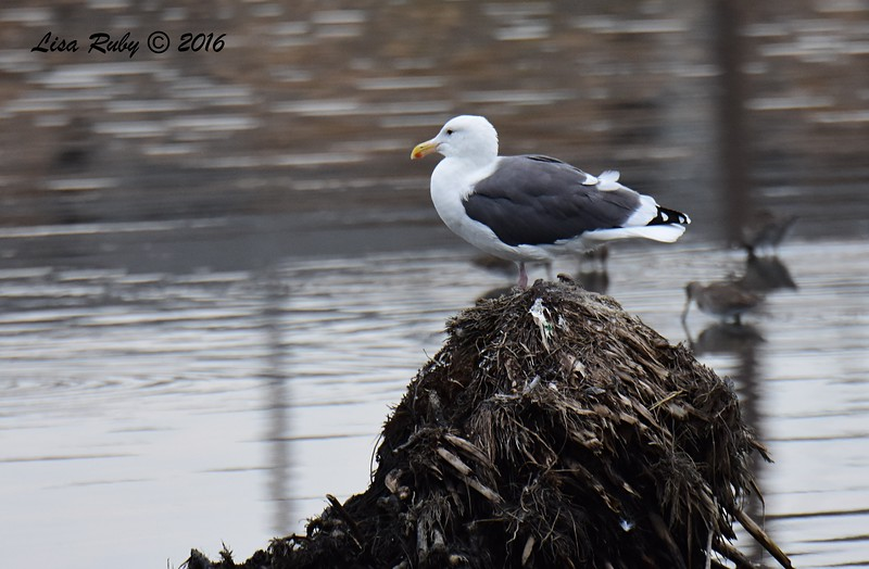 Western Gull  - 10/23/2016 - Famosa Slough