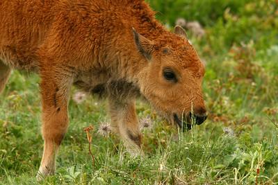 Buffalo/Antelope