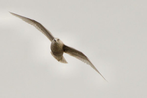 Iceland Gulls (Larus glaucoides)