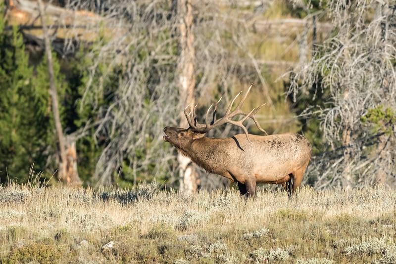 Elk-Gardiners-Hole-5.jpg
