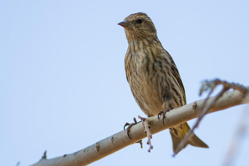 Pine Siskin - Sierra Vista, AZ, USA
