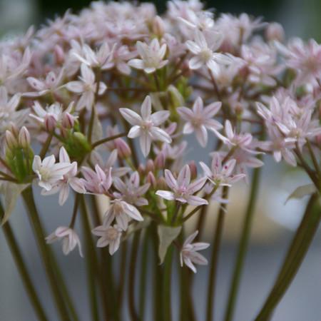 Allium hyalinum.jpg
