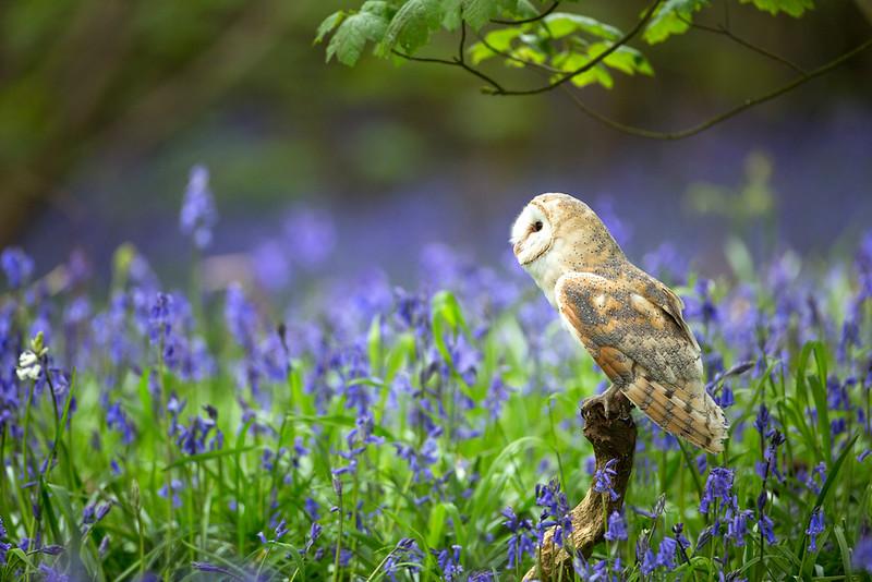 Barn owl bluebells 2.jpg