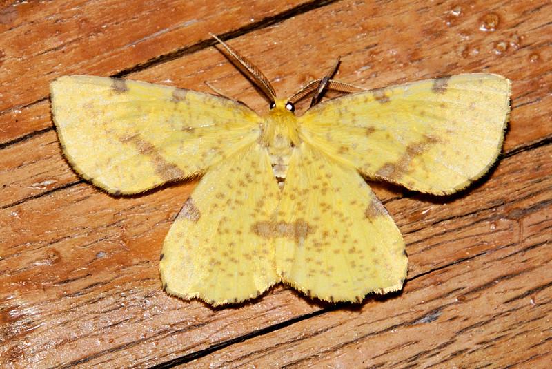 Geometer - False Crocus - (Xanthotype urticaria) - Dunning Lake - Itasca County, MN