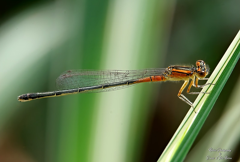 Female Eastern Forktail TLN19221.jpg