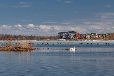 Nesting Swans, 2015 - Urban Wetlands