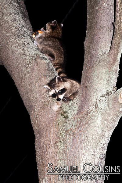 Raccoons eating my trash.
