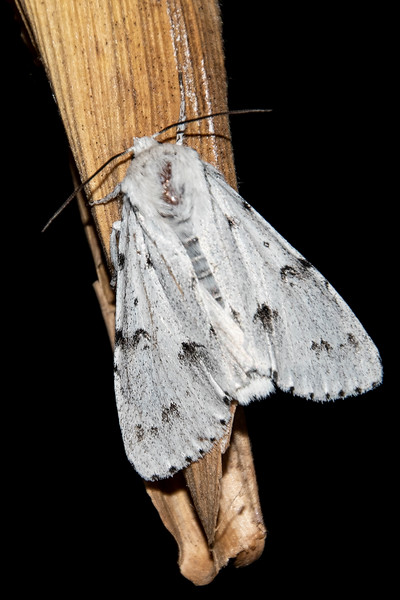 Dagger-Cottonwood-(Acronicta lepusculina)- Dunning Lake - Itasca County, MN