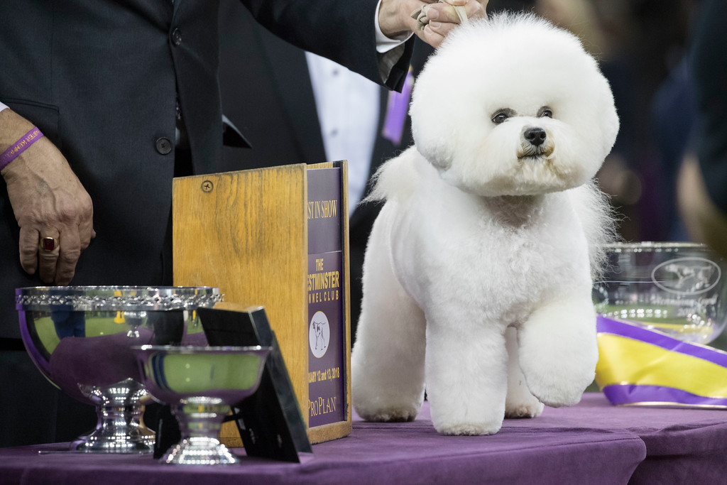. Flynn, a bichon frise, poses for photos after winning best in show during the 142nd Westminster Kennel Club Dog Show, Wednesday, Feb. 14, 2018, at Madison Square Garden in New York. (AP Photo/Mary Altaffer)