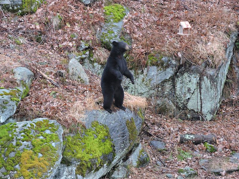 Bear Scratching on Tree-DSCN1940 (23 of 39)-Edit-006.jpg
