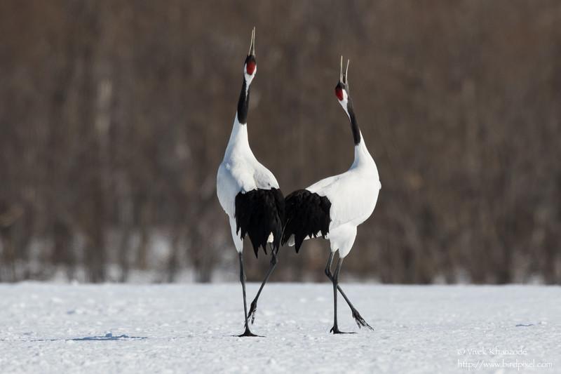 Red-crowned Crane - Hokkaido, Japan