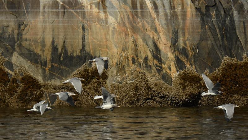 Gulls with rocks