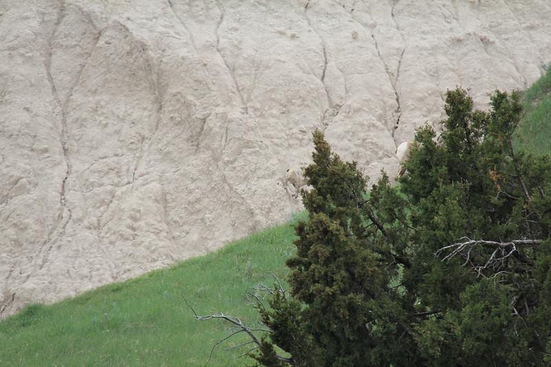 20140523-166-BadlandsNP-MountainGoats.JPG