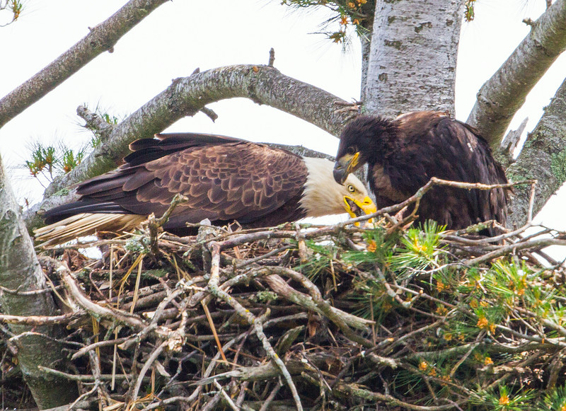 Dinner time for Eagle with young