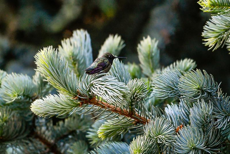 21MayHummingbirds (24 of 53).jpg