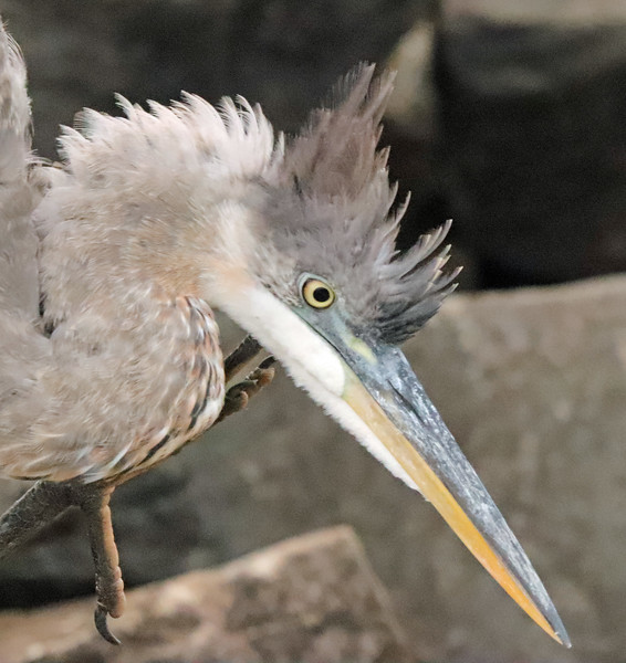 Great blue heron angry