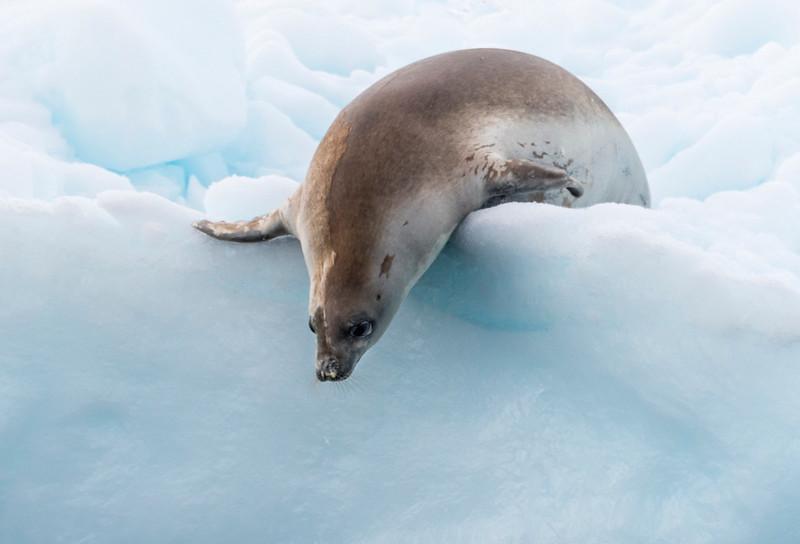 Seals_Crabeater_Paradise Harbor_Antarctica-5.jpg