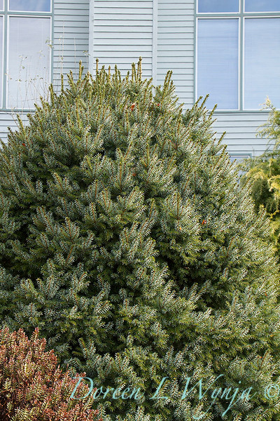 Picea sitchensis Papoose_012.jpg