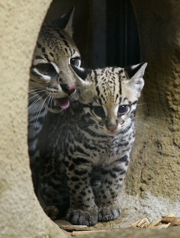 . A still nameless young ocelot stands beside his mother Estancia at their enclosure of the Hellabrunn zoo in Munich, southern Germany. The baby ocelot was 80 days old at the time.     (LENNART PREISS/AFP/Getty Images)