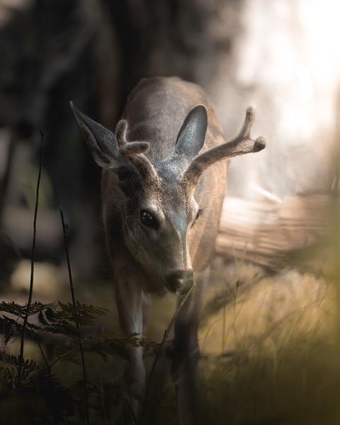 Young Mule Deer Buck