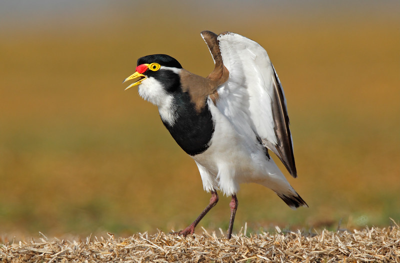 Banded Lapwing Calling.jpg