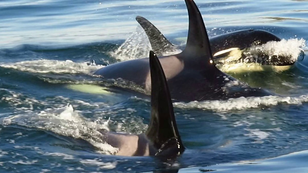 The Orcas of the San Juan Islands video