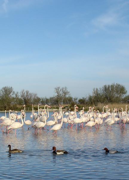 Ducks and Pink Flamingos - Camargue, France - April 2007