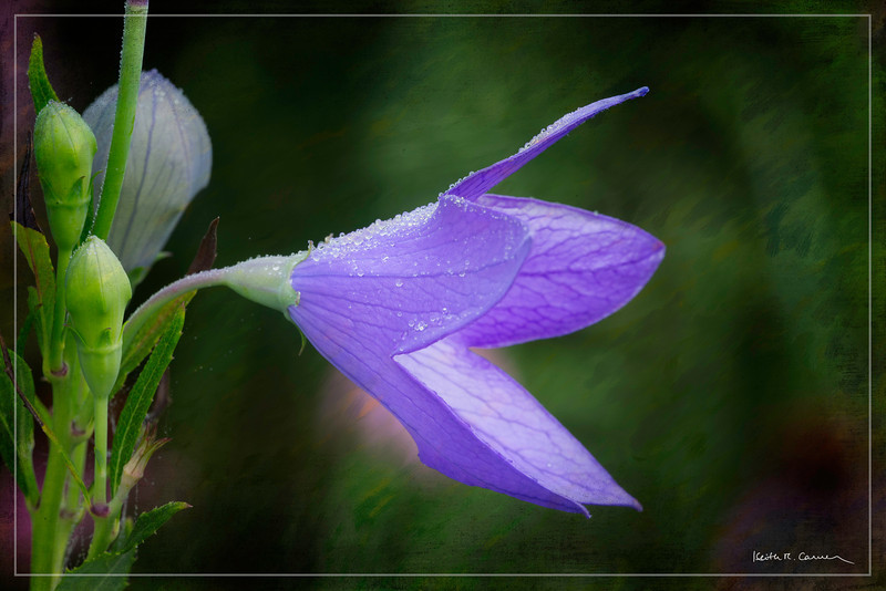 Balloon Flower, Hadley, Massachusetts