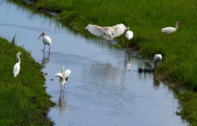Six white ibis and a snowy egret, Pearland, TX