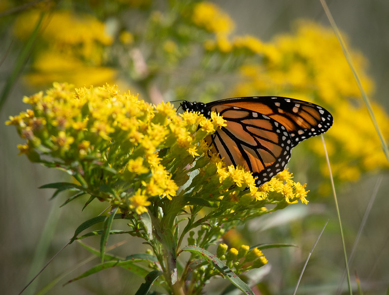 _5004046 Monarch Butterfly.jpg