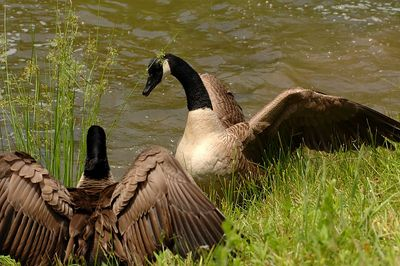 Nesting Geese 1 Part II