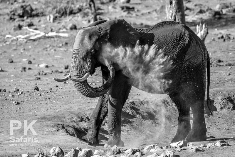 Elephant Dust Bathing