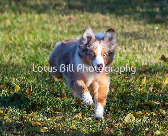 Miniature American Shepherd Red Merle SR31