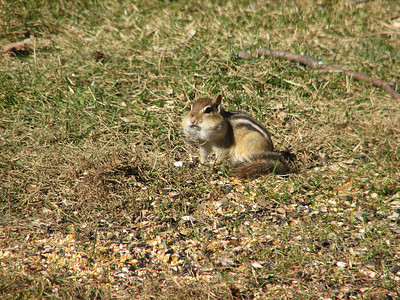 20070323 Eastern Chipmunk