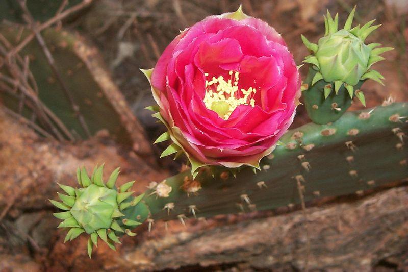Cactus Bloom   (May 29, 1999, 09:41am)
