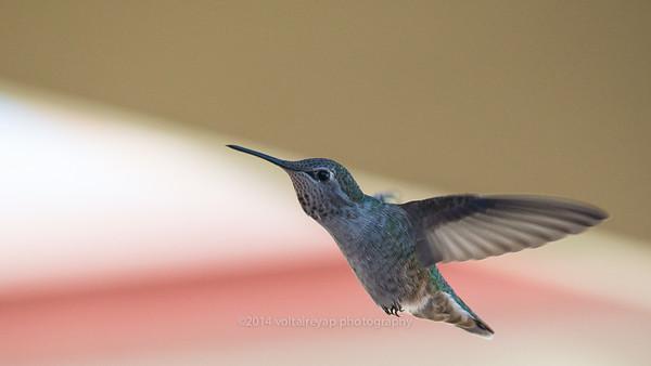 Hummingbirds SSF New Backyard