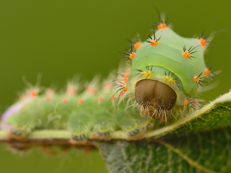 Antheraea polyphemus Caterpillar