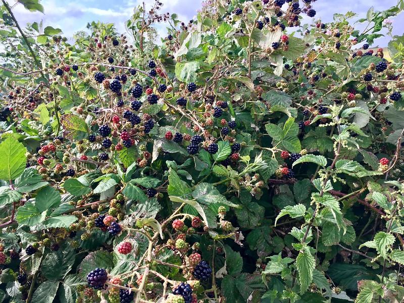 Blackberries season!!!!