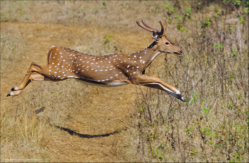Spotted-Deer-Stag-Leaping.jpg